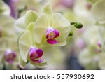 beautiful orchid flower with... | Shutterstock . vector #557930692