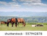 herd of horses on pasture   Shutterstock . vector #557942878