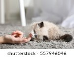 Stock photo cute little kitten playing with owner s hand on carpet 557946046