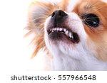 Dangerous Chihuahua Face...