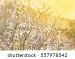 branch of willow tree  salix... | Shutterstock . vector #557978542