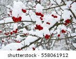 Red  Berries Covered With Snow...