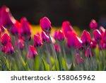 tulips | Shutterstock . vector #558065962