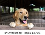 brown dog stood and wait over... | Shutterstock . vector #558112708