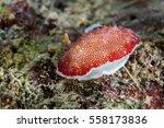nudibranch close up. sipadan... | Shutterstock . vector #558173836