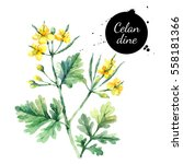 hand drawn watercolor celandine ... | Shutterstock . vector #558181366