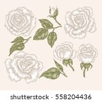 Stock vector white rose flowers and leaves in vintage style hand drawn botanical vector illustration floral 558204436