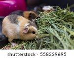 Closeup Of Calico Guinea Pigs...