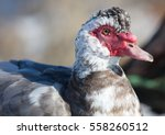 Closeup Of A Muscovy Duck ...