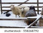 Three Sheep Herd Graze In The...