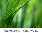 barley | Shutterstock . vector #558279916