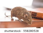 office rats, rodent on desk looking at floor