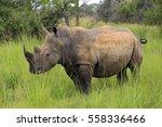 White Rhino  Ceratotherium...