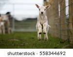 Young Lamb Jumping.  A One...