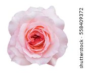 Pink Rose Bud With Dew Drops O...