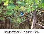 Small photo of Cerulean kingfisher (Alcedo coerulescens) in Bali island, Indonesia