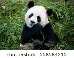 panda | Shutterstock . vector #558584215
