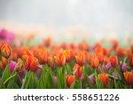 Amazing Nature Of Tulips Under...