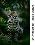 Nice Cat Margay Sitting On The...