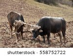 Two Bulls And Wooden Plow  Per...