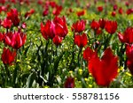 tulip greenhouses in turkey.... | Shutterstock . vector #558781156