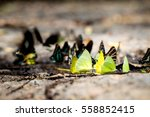 Butterflies Eating Mineral On...