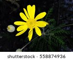 Small photo of Delicate yellow daisy, ephemeral and fragile flower, has acclimated to the garden under all the colors of the rainbow.