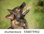 Small photo of Portrait of angry Gray working line German shepherd barking