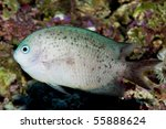 Small photo of Spiny Chromis (Acanthochromis polyacanthus) in Aquarium