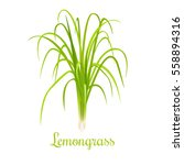 lemongrass or cymbopogon or... | Shutterstock .eps vector #558894316