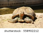African Spurred Tortoise  Gian...