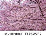 Perfect Sakura Cherry Blossoms...