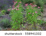 Echinacea Flowers In The...