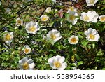 Cherokee Rose  Pure White  Wil...