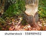 beavers building a dam in a...   Shutterstock . vector #558989452