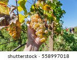 Grapes In The Farmer's Hand And ...