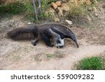 a giant anteater  myrmecophaga... | Shutterstock . vector #559009282