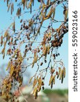 Small photo of Spring catkins of alder and last year's cones on blue sky background