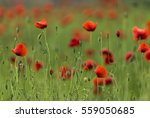 camp gorgeous poppies  near... | Shutterstock . vector #559050685