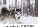 Siberian Husky Closeup. Dog In...