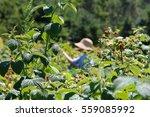 raspberry picking | Shutterstock . vector #559085992