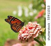 Monarch Butterfly On Pink Zinnia