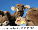 Three Curious Young Brown Cows