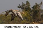 Greylag Goose Couple Flying