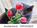 a nice grey cat sniffing and... | Shutterstock . vector #559141825