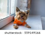 Yorkshire Terrier Wearing...