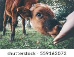 cow calf eating from man hand... | Shutterstock . vector #559162072