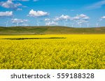 bright yellow canola field with ... | Shutterstock . vector #559188328