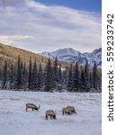 wild elk in winter banff... | Shutterstock . vector #559233742