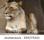 Lioness Resting Near A Large...